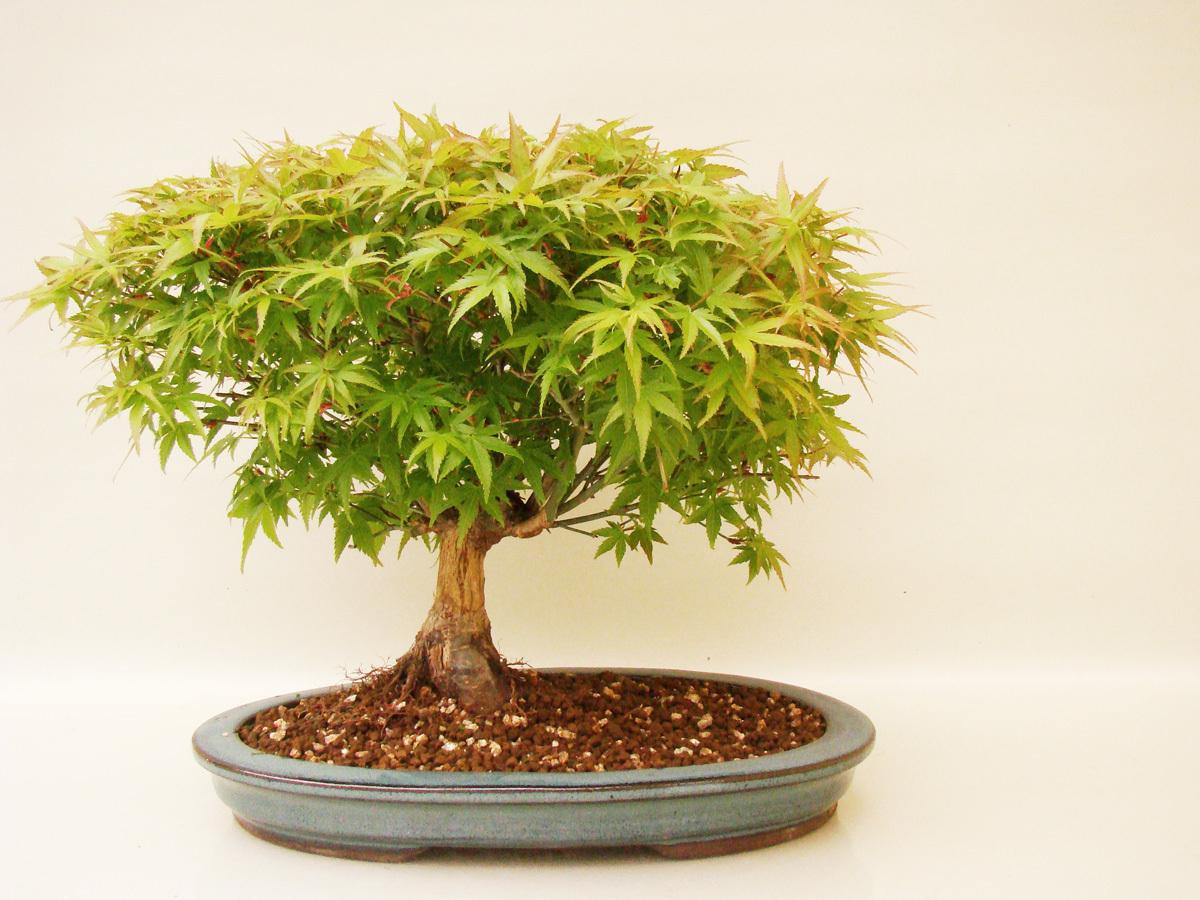 f cherahorn kijohime apk13 1 genki bonsai. Black Bedroom Furniture Sets. Home Design Ideas