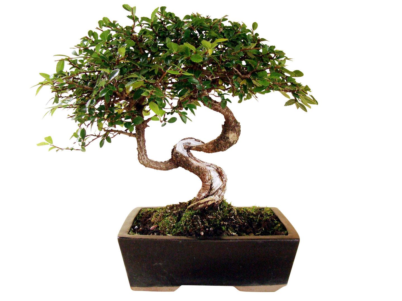 chinesische ulme ul 1 genki bonsai. Black Bedroom Furniture Sets. Home Design Ideas