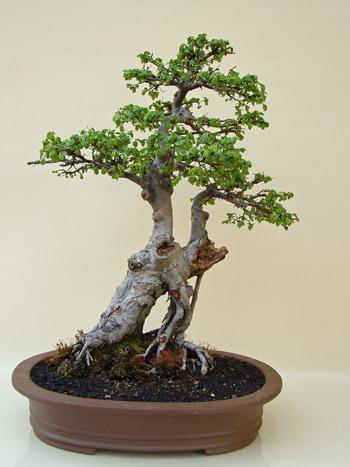 bonsai chinesische ulme alter solit r genki bonsai. Black Bedroom Furniture Sets. Home Design Ideas