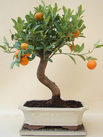 mandarinen b umchen genki bonsai. Black Bedroom Furniture Sets. Home Design Ideas