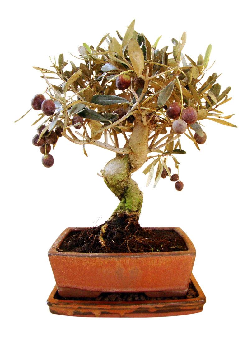 olive ol10 3 genki bonsai. Black Bedroom Furniture Sets. Home Design Ideas