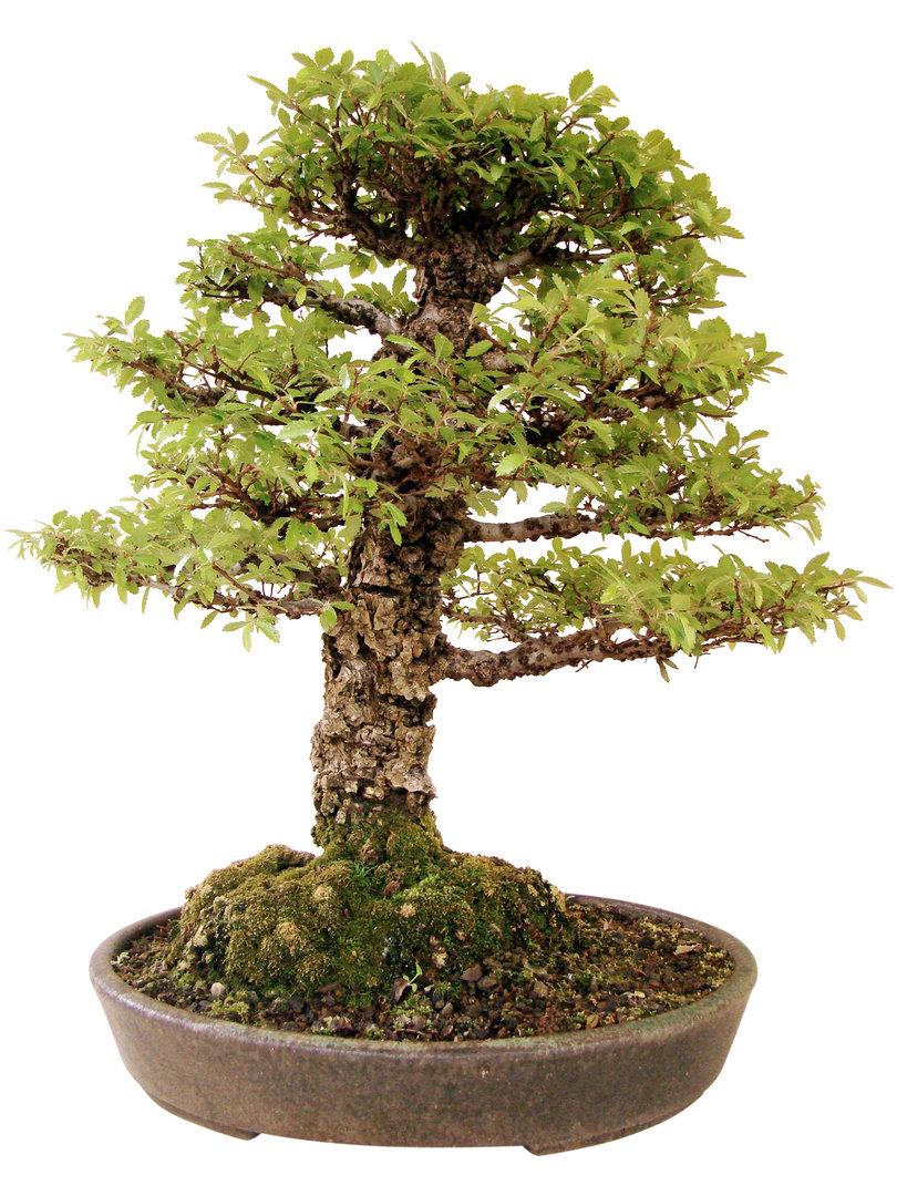 chinesische ulme k ul genki bonsai. Black Bedroom Furniture Sets. Home Design Ideas