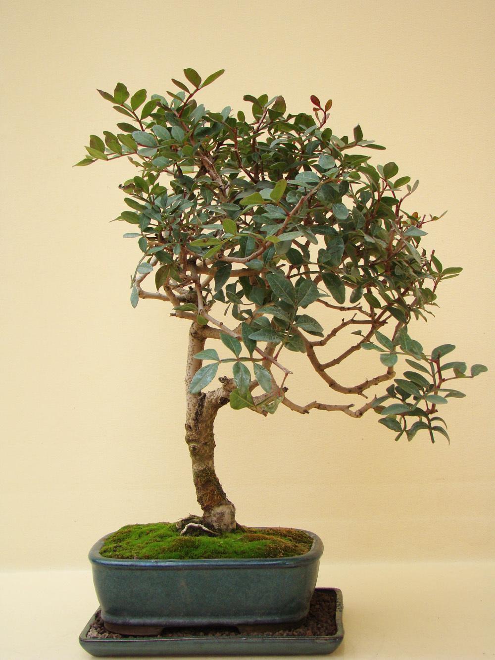 pistazien b umchen genki bonsai. Black Bedroom Furniture Sets. Home Design Ideas