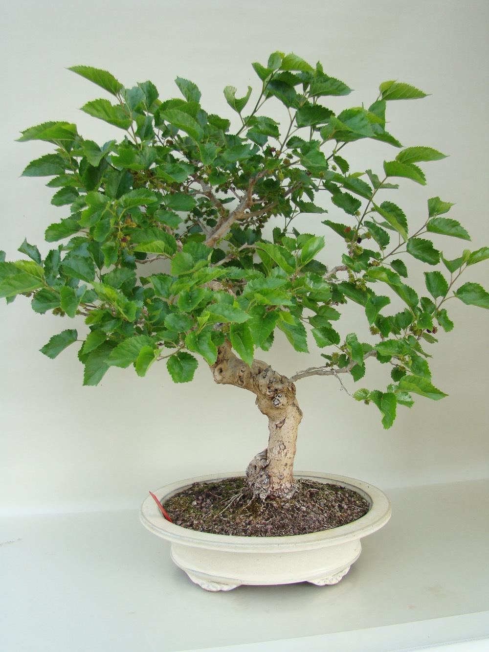Morus dt maulbeerbaum mo28 3 1 genki bonsai for Bonsai versand