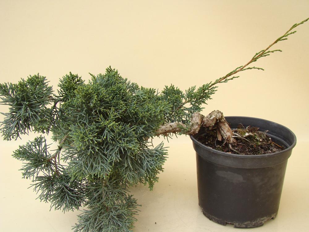 pre bonsai wacholder juniperus chinensis 15 jahre 15 cm ebay. Black Bedroom Furniture Sets. Home Design Ideas