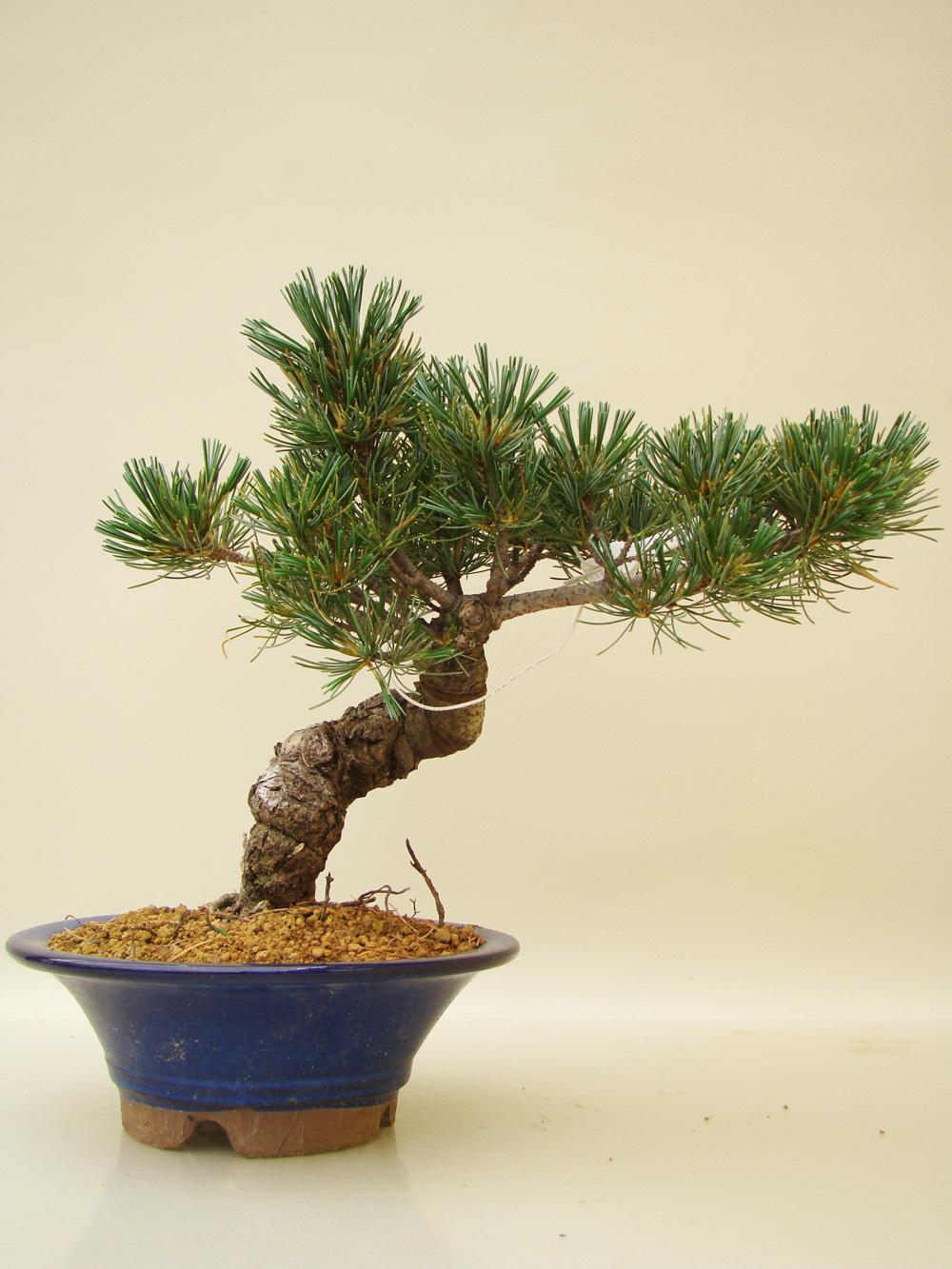bonsai kiefer pflanzen f r nassen boden. Black Bedroom Furniture Sets. Home Design Ideas