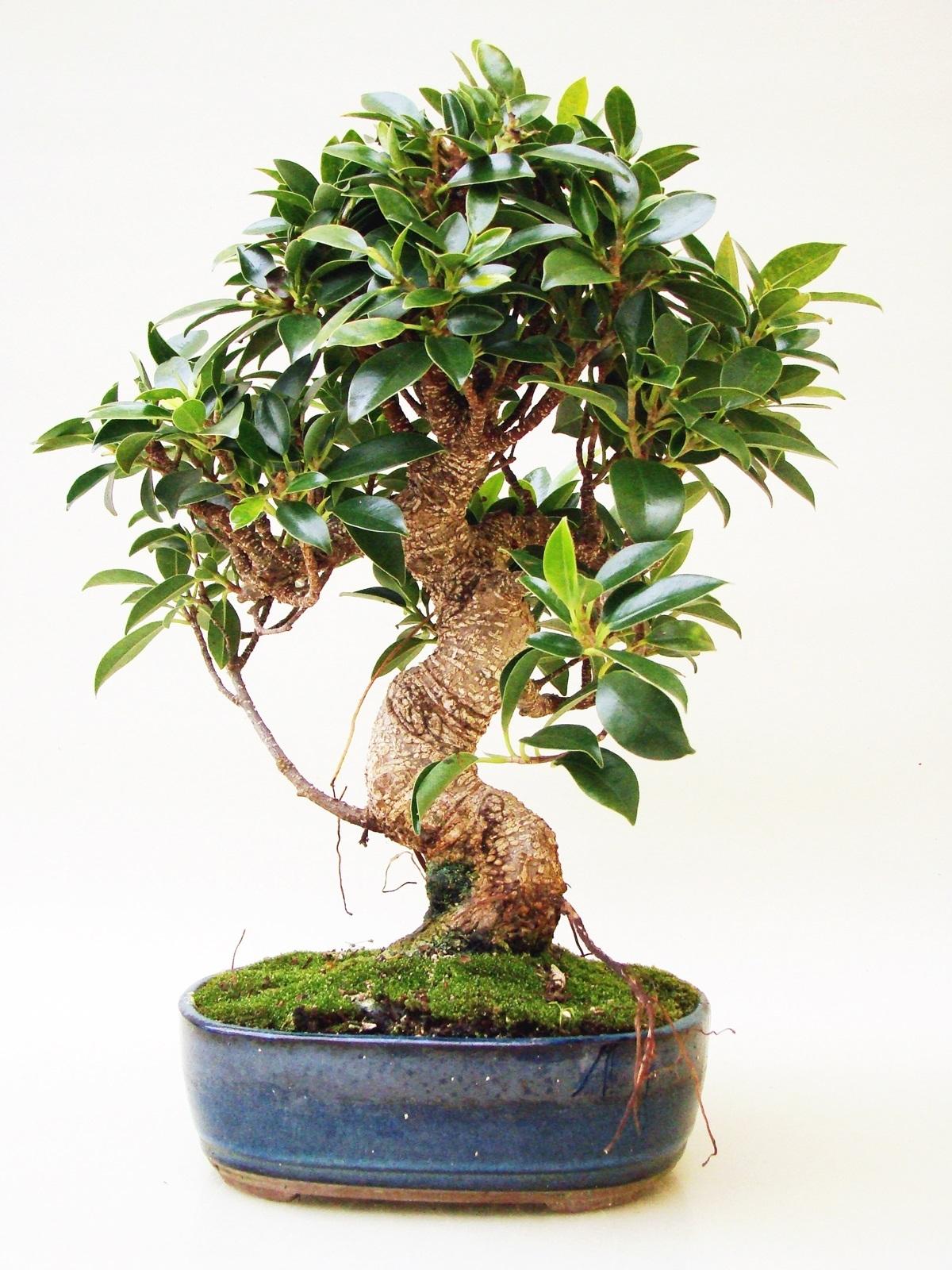 Ficus fi12 2 for Bonsai versand