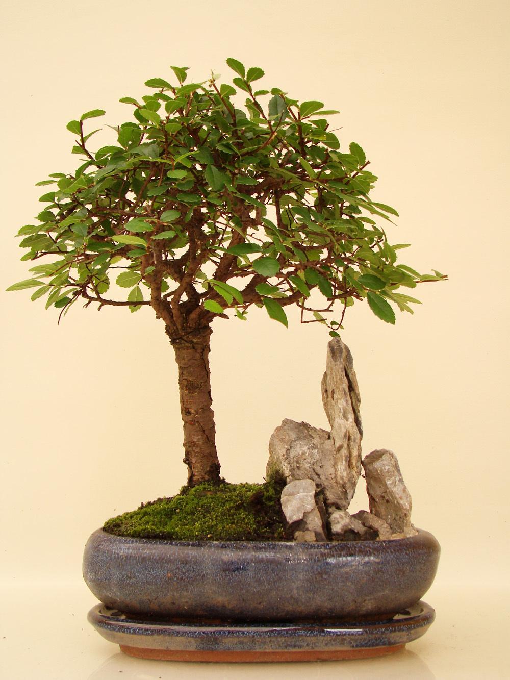 ulst7 8 chinesische ulme genki bonsai. Black Bedroom Furniture Sets. Home Design Ideas