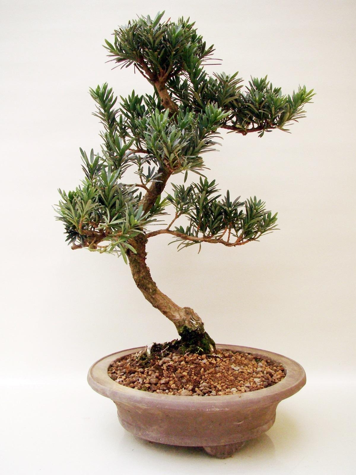 podocarpus steineibe po16 2 genki bonsai. Black Bedroom Furniture Sets. Home Design Ideas