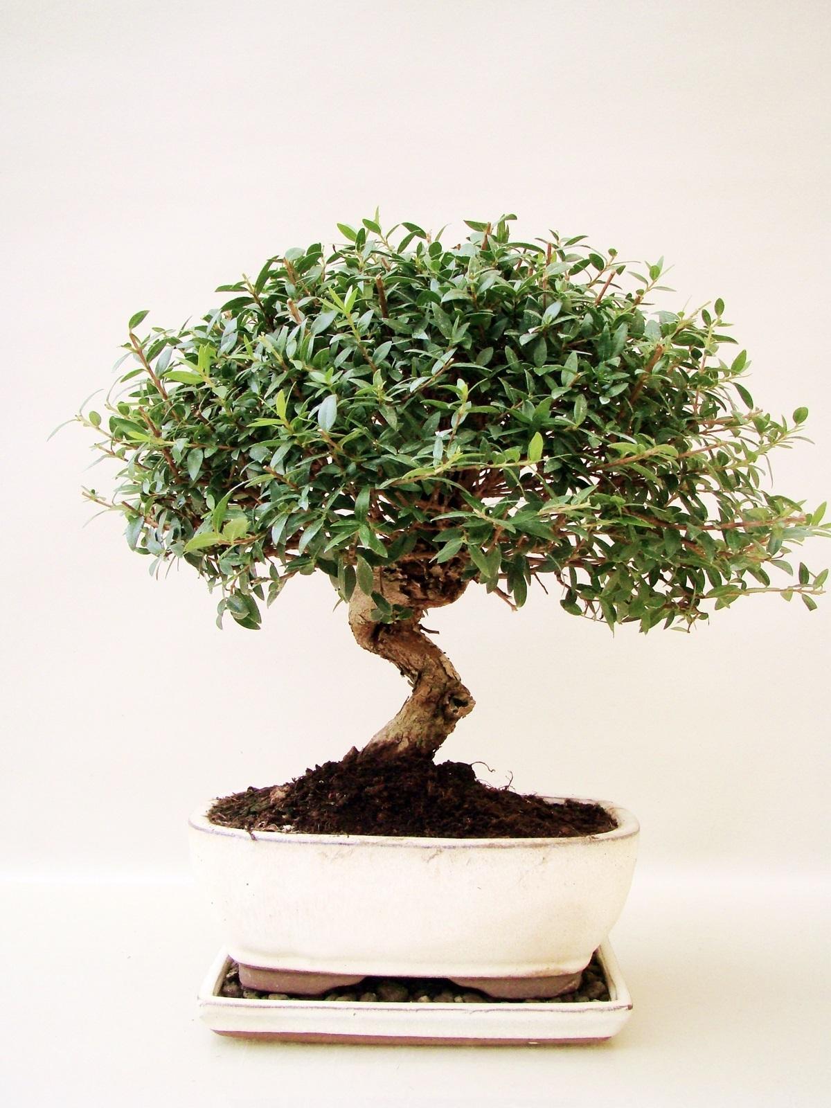 myrte bonsai pflanzen f r nassen boden. Black Bedroom Furniture Sets. Home Design Ideas
