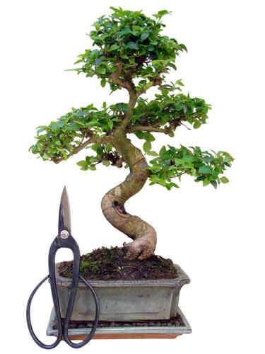 bonsai anf nger spar sets bonsai baum genki bonsai. Black Bedroom Furniture Sets. Home Design Ideas
