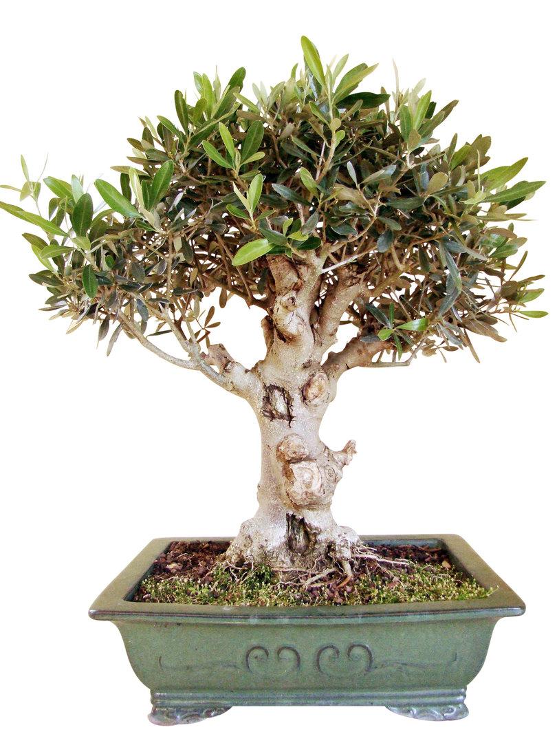 olive wol25 1 genki bonsai. Black Bedroom Furniture Sets. Home Design Ideas