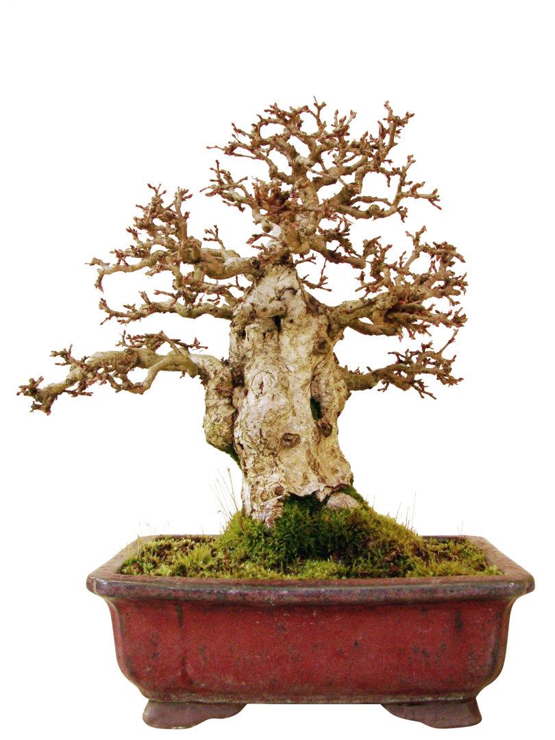 Korea hainbuche ck35 1 genki bonsai for Bonsai versand