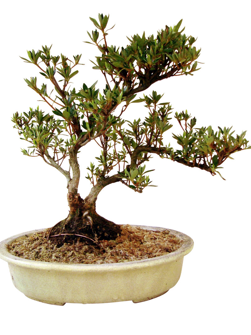 Azalee az rho 2 genki bonsai for Bonsai versand