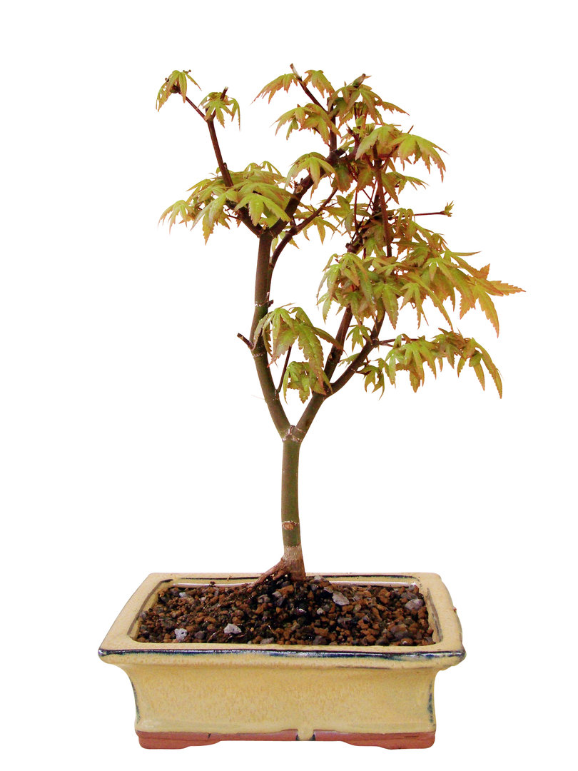 f cherahorn ap9 12 genki bonsai. Black Bedroom Furniture Sets. Home Design Ideas