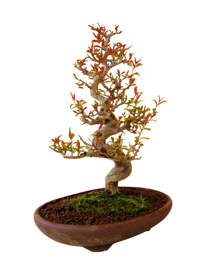 granatapfel punica granatum pu 1 genki bonsai. Black Bedroom Furniture Sets. Home Design Ideas