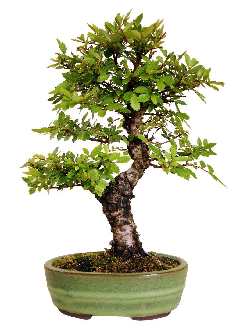 Japan ulme ju 2 genki bonsai for Bonsai versand