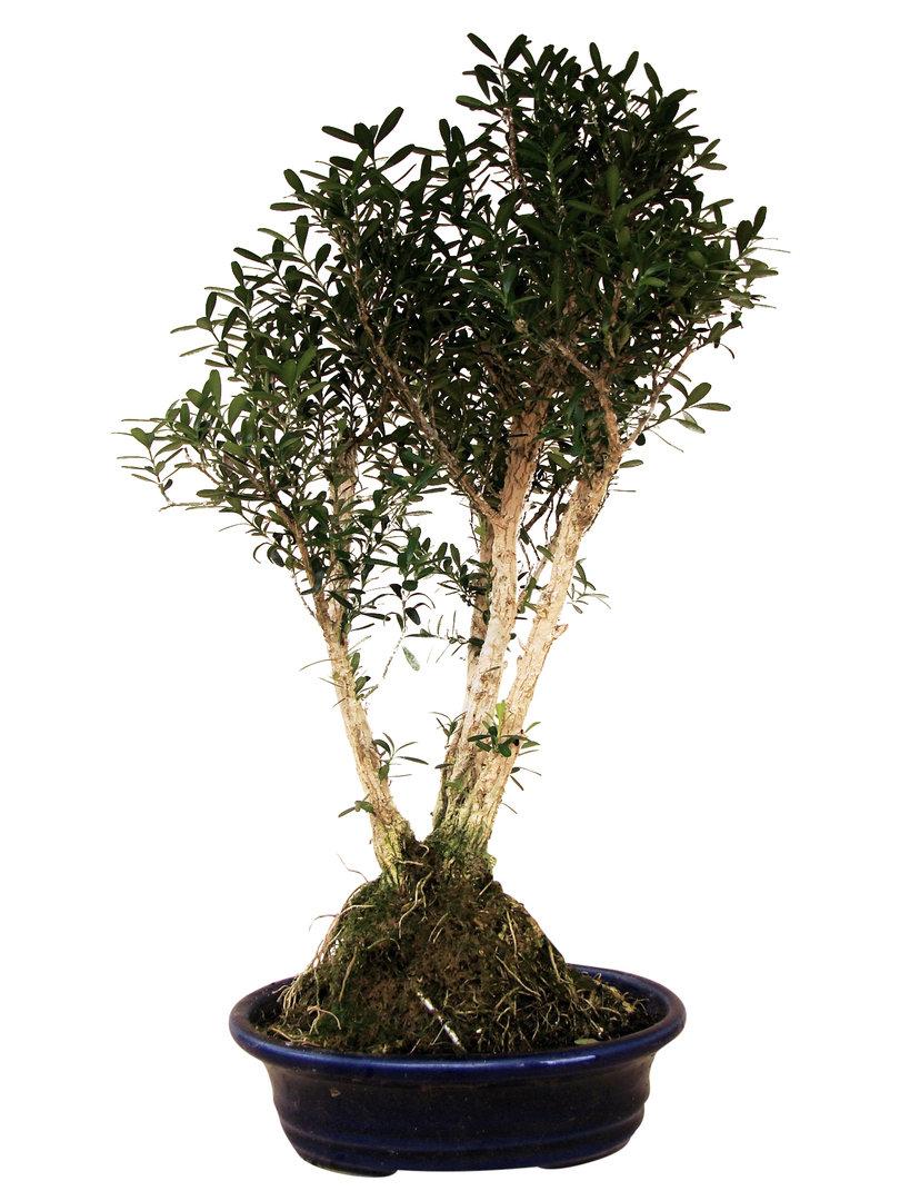 Buxbaum p bu 12 genki bonsai for Bonsai versand