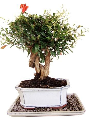 genki bonsai ihr bonsai fachhandel f r bonsai b ume und. Black Bedroom Furniture Sets. Home Design Ideas