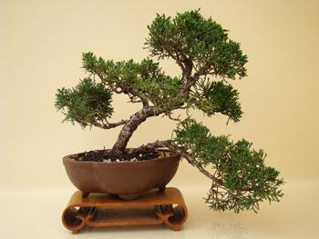 knuffige wacholder genki bonsai. Black Bedroom Furniture Sets. Home Design Ideas