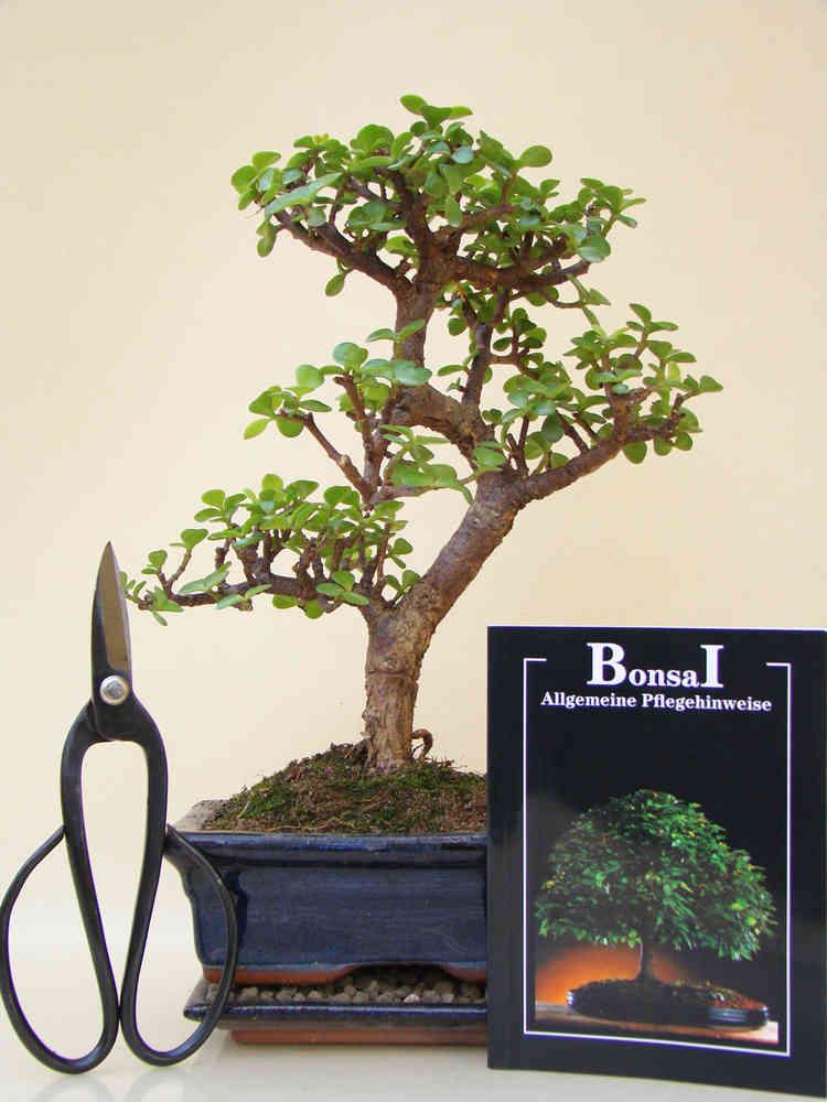 Bonsai Anfänger bonsai anfänger spar-set crassula - genki-bonsai