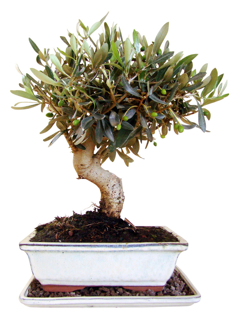 olive ol14 1 genki bonsai. Black Bedroom Furniture Sets. Home Design Ideas