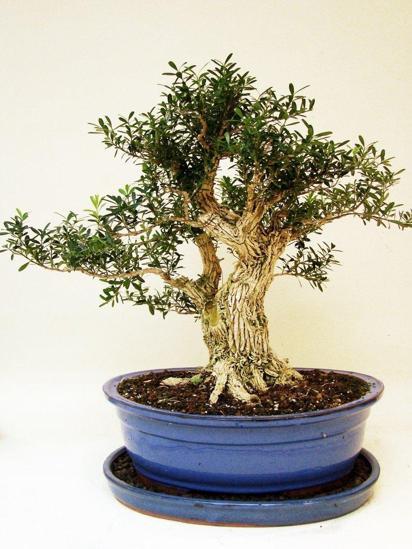 Buxbaum pbux20 5 genki bonsai for Bonsai versand