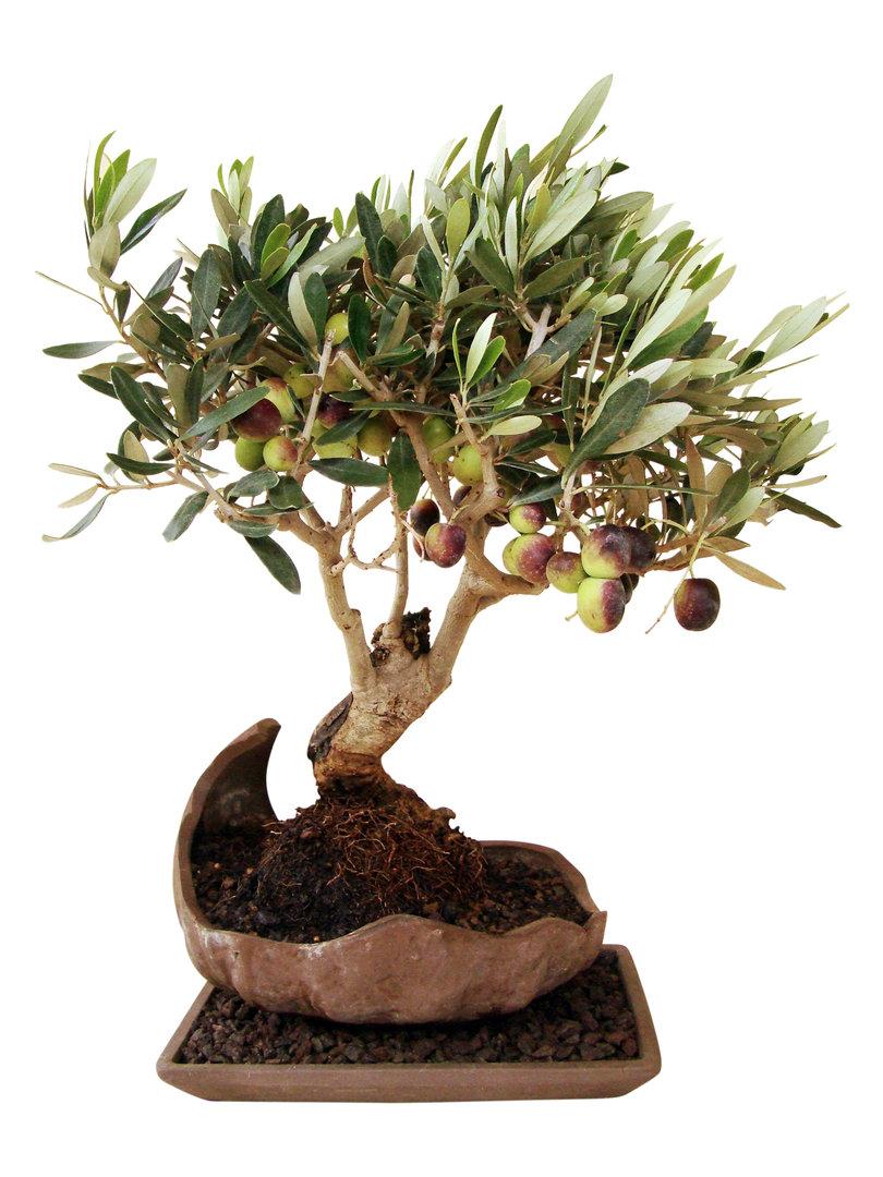 olive in kuramaschale olk 1 genki bonsai. Black Bedroom Furniture Sets. Home Design Ideas