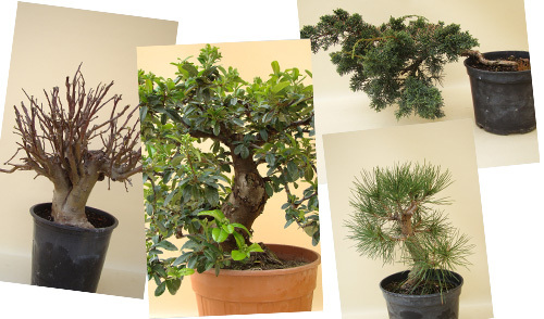 Bonsai Rohlinge (Prebonsai)