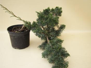 wap15 4 3 wacholder genki bonsai. Black Bedroom Furniture Sets. Home Design Ideas