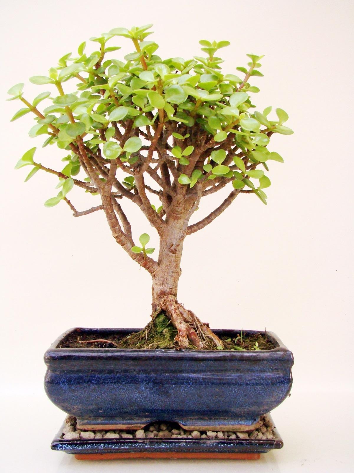 crassula geldbaum cr9 9 genki bonsai. Black Bedroom Furniture Sets. Home Design Ideas