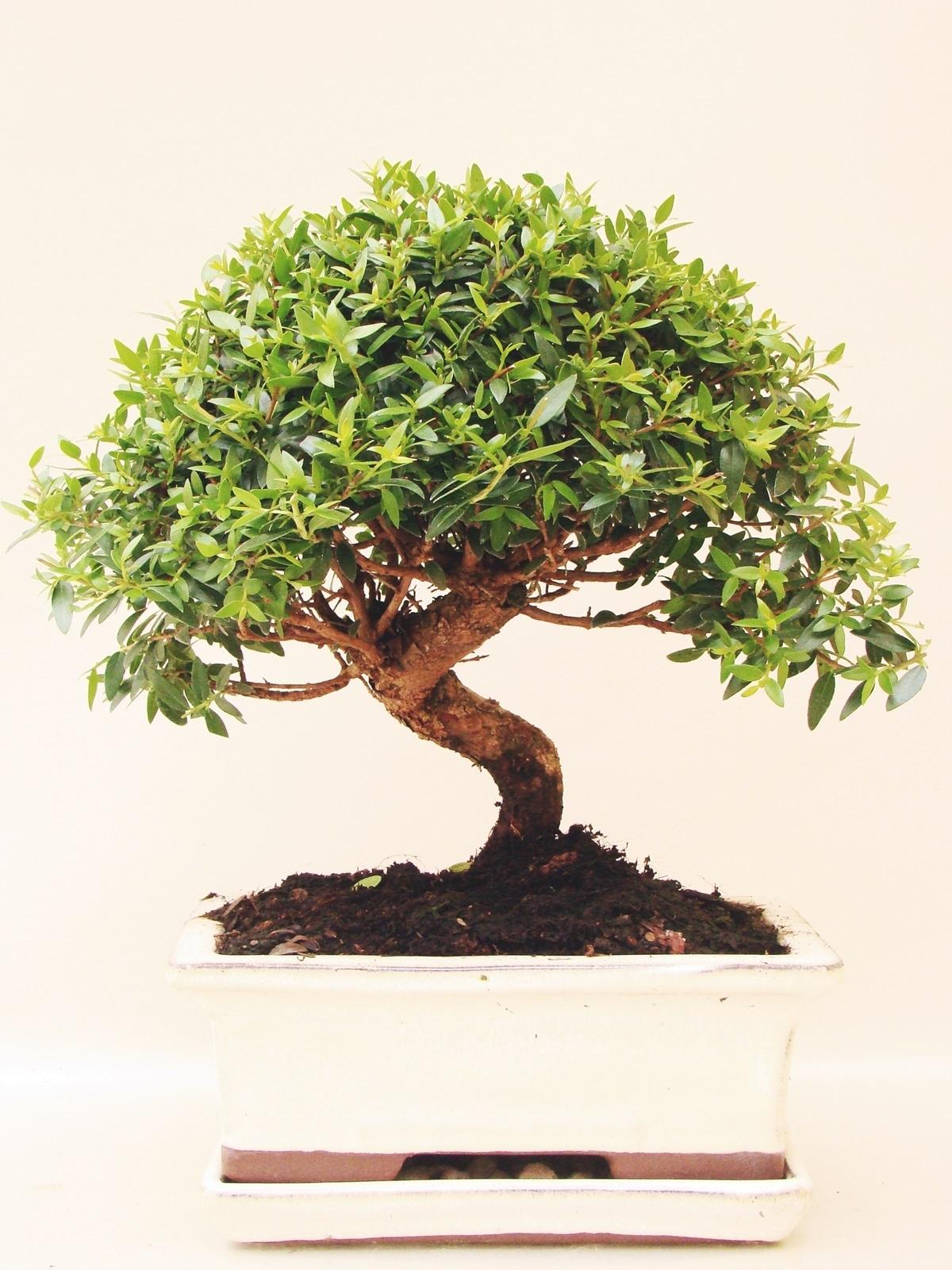 myrte brautmyrte my8 4 genki bonsai. Black Bedroom Furniture Sets. Home Design Ideas