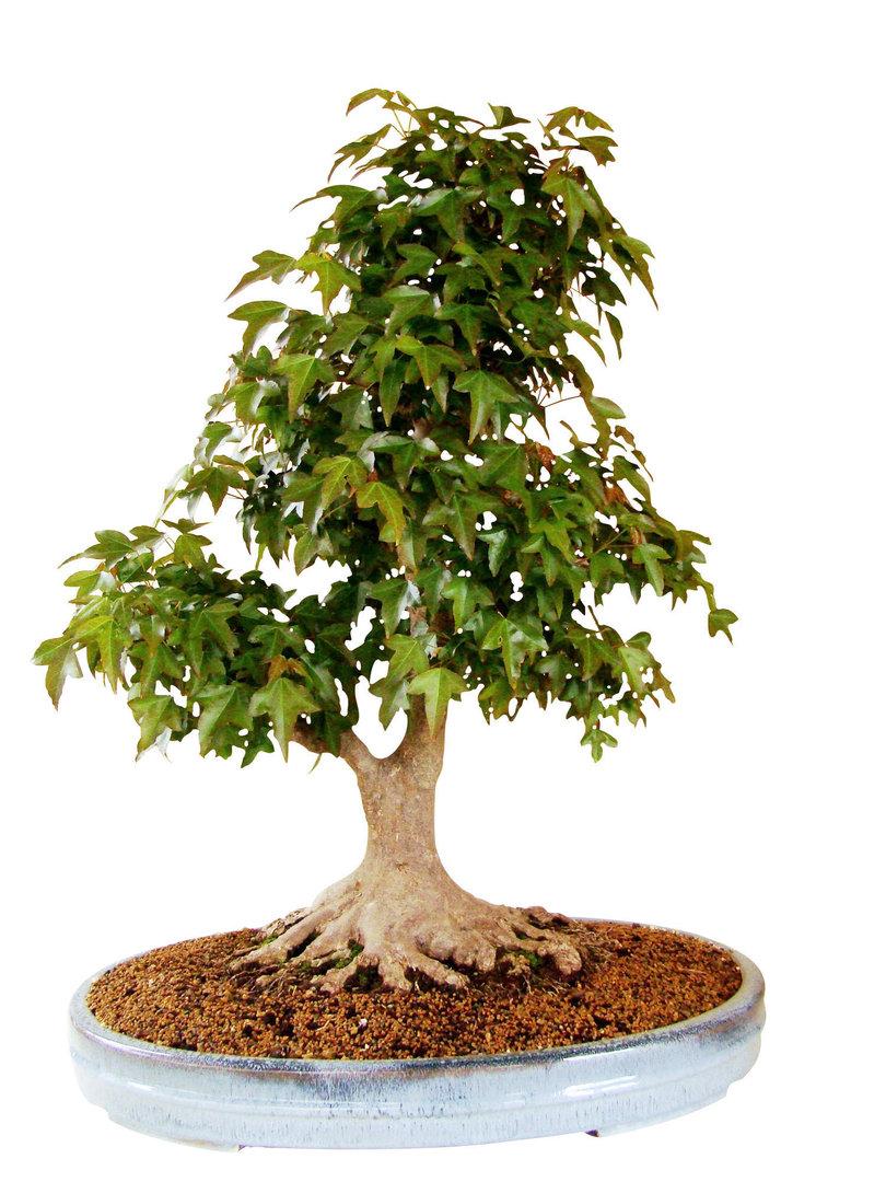 Dreispitzahorn ab30 1 genki bonsai for Bonsai versand
