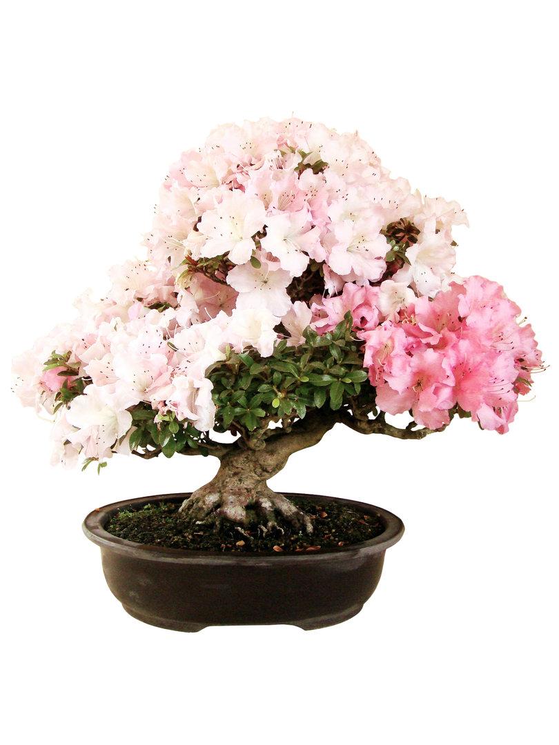 Azalee az rho 9 genki bonsai for Bonsai versand