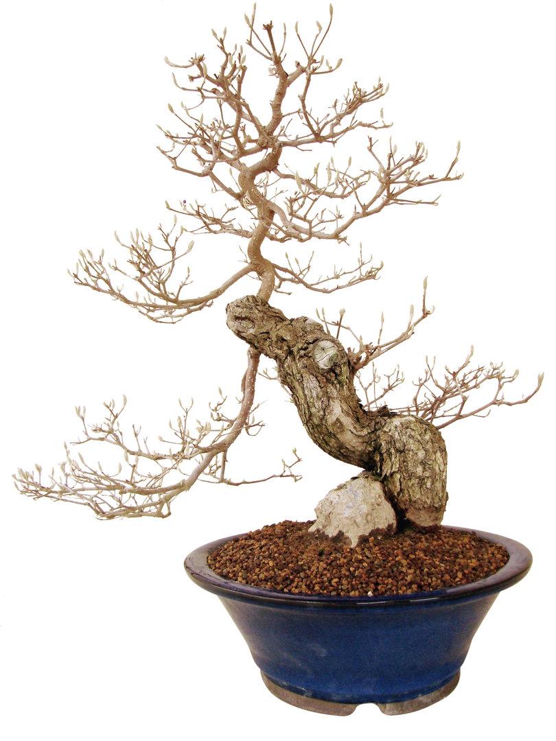 Sch nfrucht callicarpa japonica cal25 1 genki bonsai for Bonsai versand