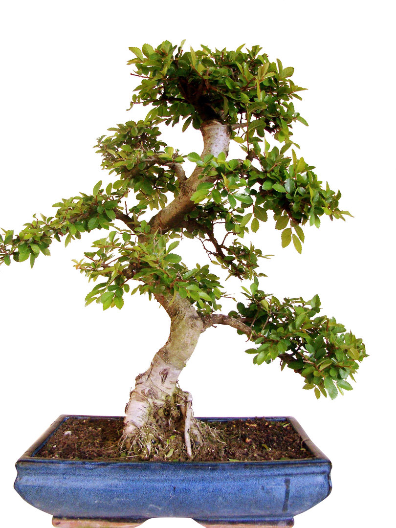 Chin ulme ul16 6 genki bonsai for Bonsai versand