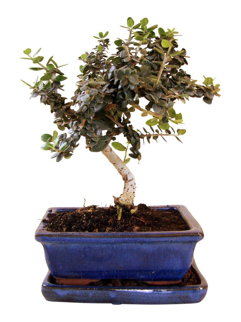 wild olive wol  genki bonsai